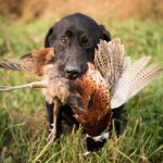 bird dog, field dog photographer, dog photographer, hunting dog stock photography