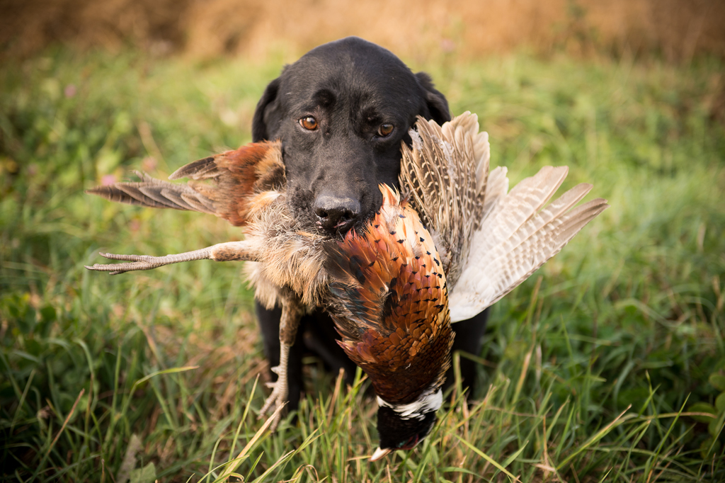 Life Afield Sporting Dog Photography, Field Dog ...